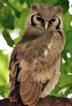 African Milky Eagle Owl