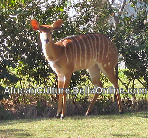 Female Lowland Nyala