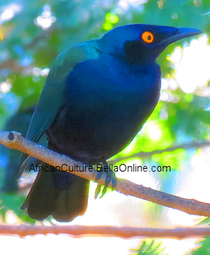 Splendid Glossy-Starling