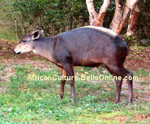 Yellow- Backed Duiker
