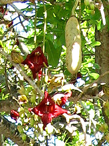 Sausage Tree Blooms and Fruit